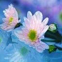 Цветя 24